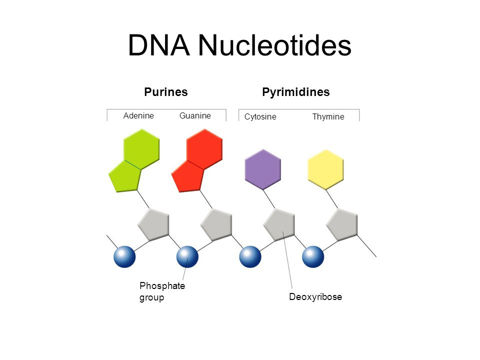 DNA Nucleotides Purines Pyrimidines Section 12-1 Phosphate group