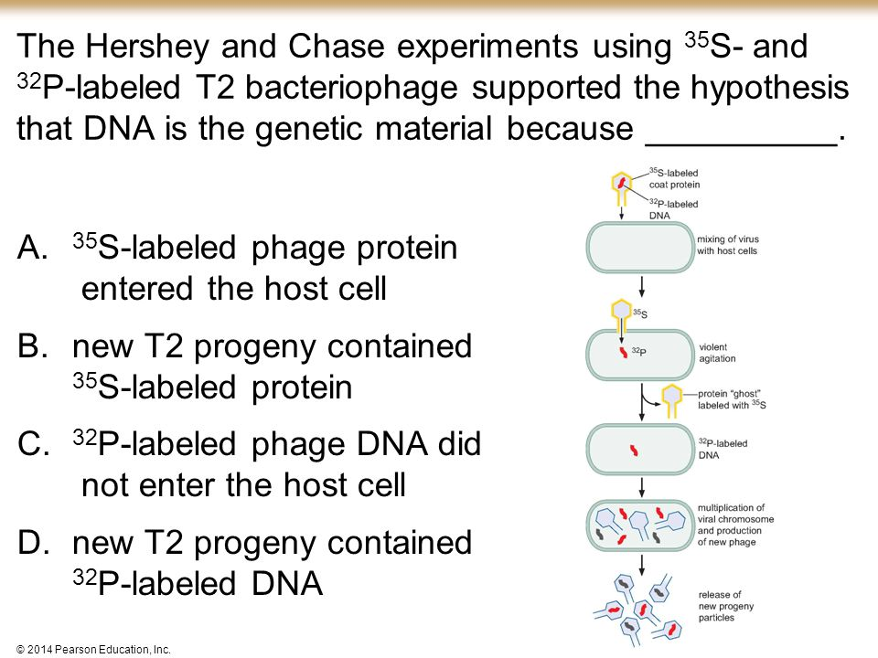 35S-labeled phage protein entered the host cell