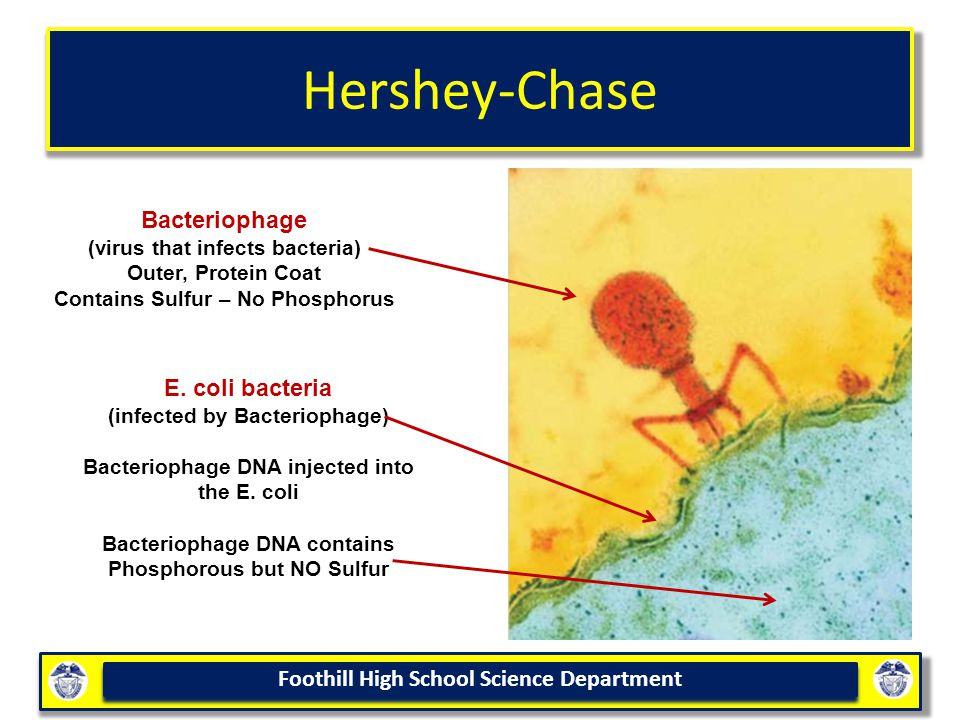 Hershey-Chase Bacteriophage (virus that infects bacteria) Outer, Protein Coat Contains Sulfur – No Phosphorus.
