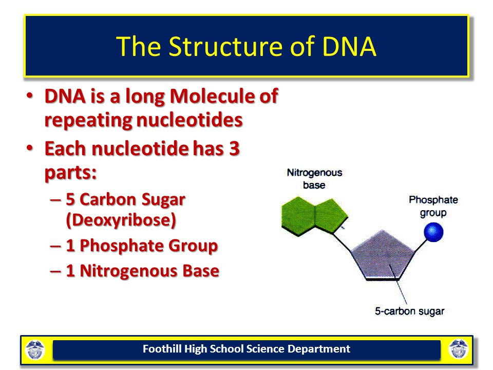 The Structure of DNA DNA is a long Molecule of repeating nucleotides