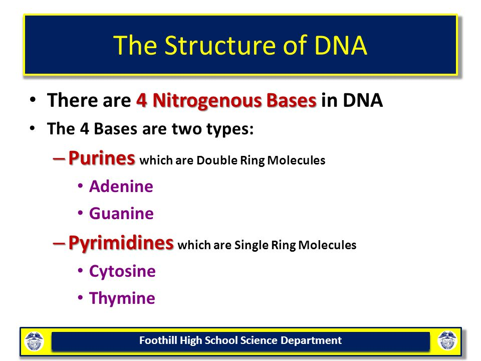 The Structure of DNA There are 4 Nitrogenous Bases in DNA