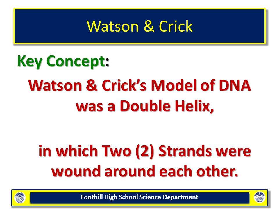 Watson & Crick Key Concept: Watson & Crick's Model of DNA was a Double Helix, in which Two (2) Strands were wound around each other.