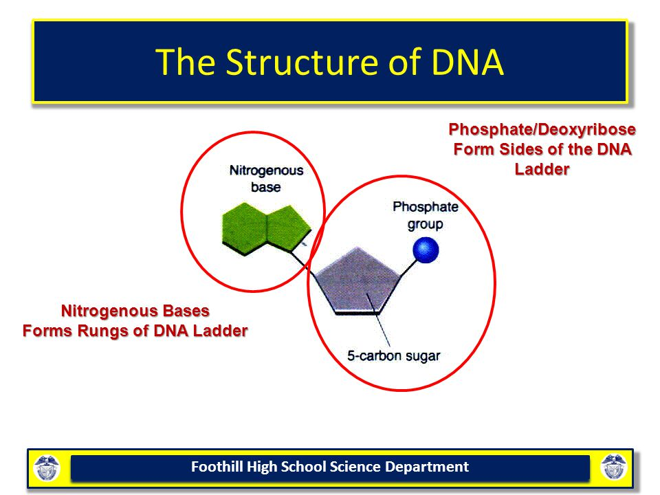 The Structure of DNA Phosphate/Deoxyribose Form Sides of the DNA Ladder.