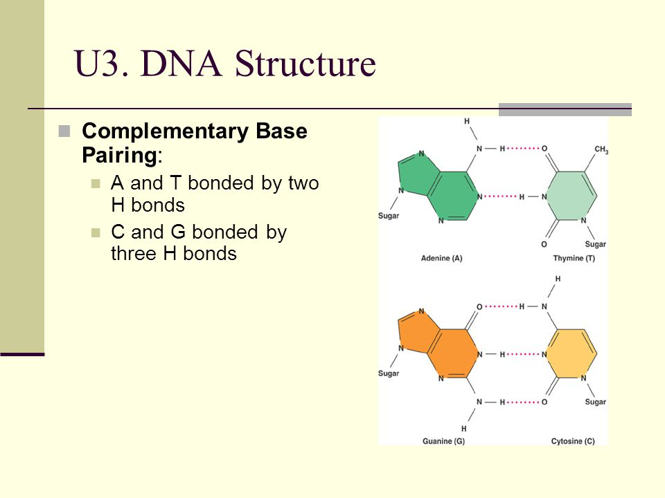 U3. DNA Structure Complementary Base Pairing: