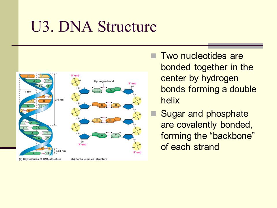 U3. DNA Structure Two nucleotides are bonded together in the center by hydrogen bonds forming a double helix.