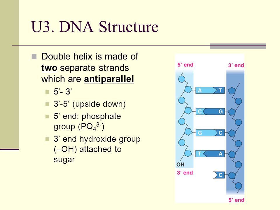 U3. DNA Structure Double helix is made of two separate strands which are antiparallel. 5'- 3' 3'-5' (upside down)