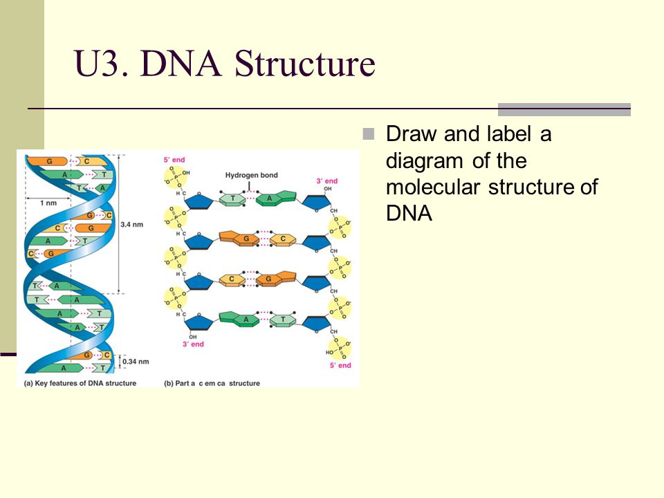 U3. DNA Structure Draw and label a diagram of the molecular structure of DNA