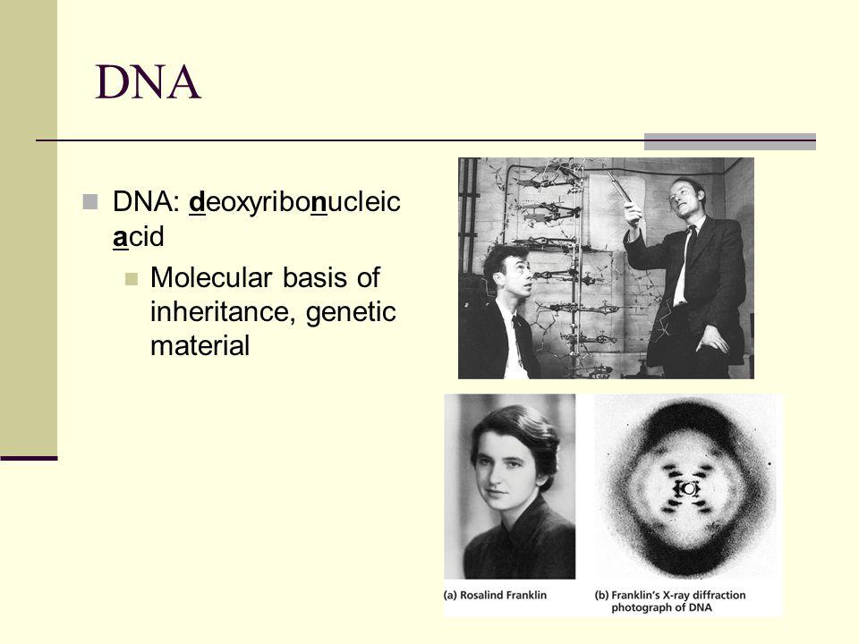 DNA DNA: deoxyribonucleic acid