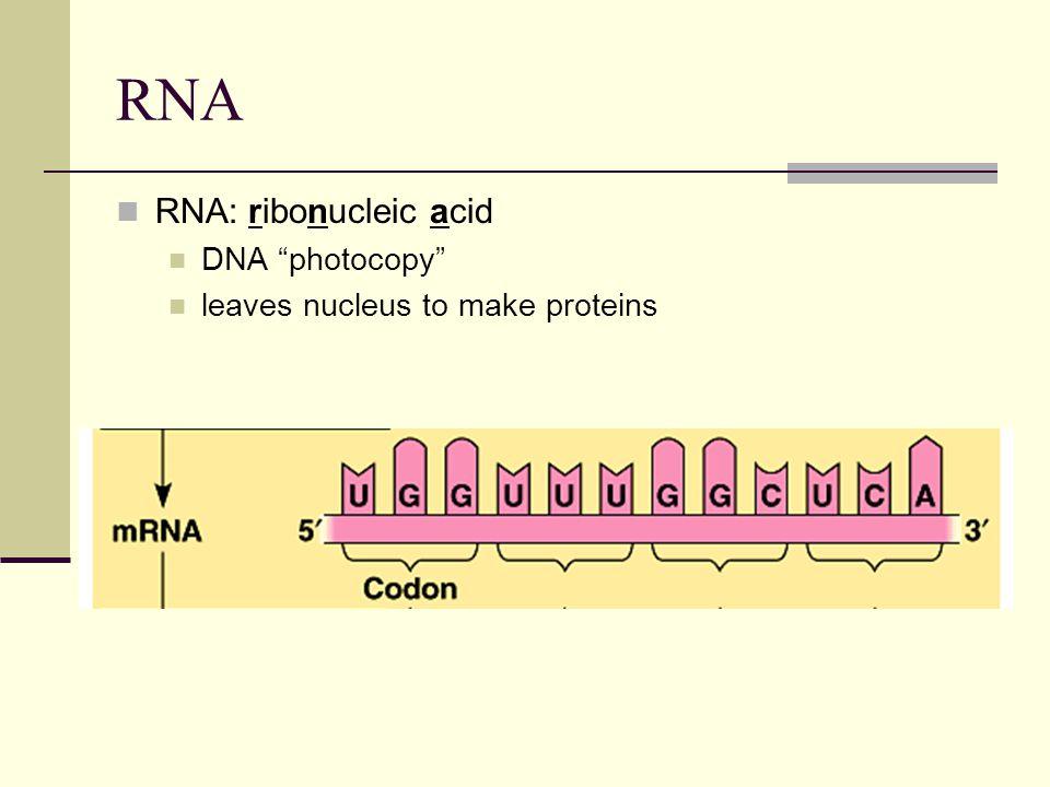 RNA RNA: ribonucleic acid DNA photocopy