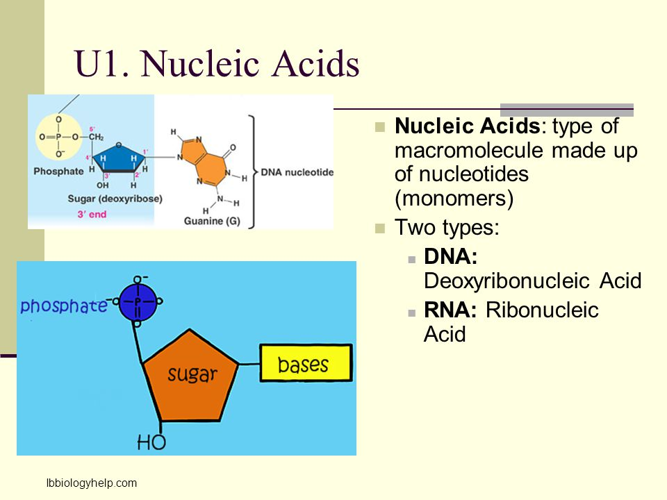 U1. Nucleic Acids Nucleic Acids: type of macromolecule made up of nucleotides (monomers) Two types:
