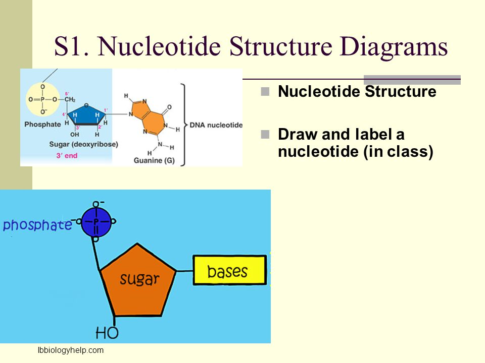 S1. Nucleotide Structure Diagrams