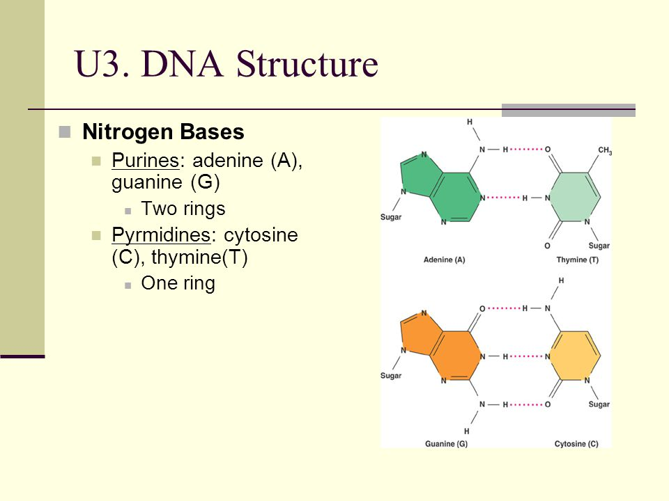 U3. DNA Structure Nitrogen Bases Purines: adenine (A), guanine (G)