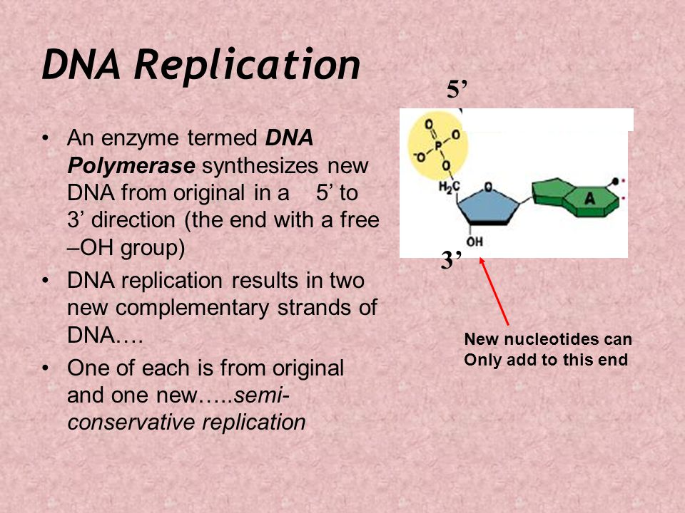DNA Replication 5' An enzyme termed DNA Polymerase synthesizes new DNA from original in a 5' to 3' direction (the end with a free –OH group)