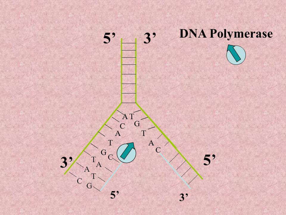 5' 3' 5' 3' DNA Polymerase 5' 3' A A T T G G C C A A T T T T A A C C G