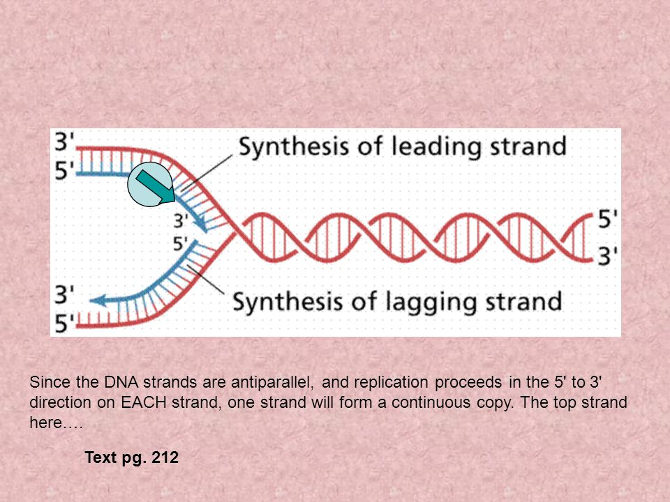 Since the DNA strands are antiparallel, and replication proceeds in the 5 to 3