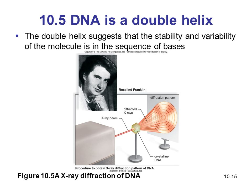 10.5 DNA is a double helix The double helix suggests that the stability and variability of the molecule is in the sequence of bases.