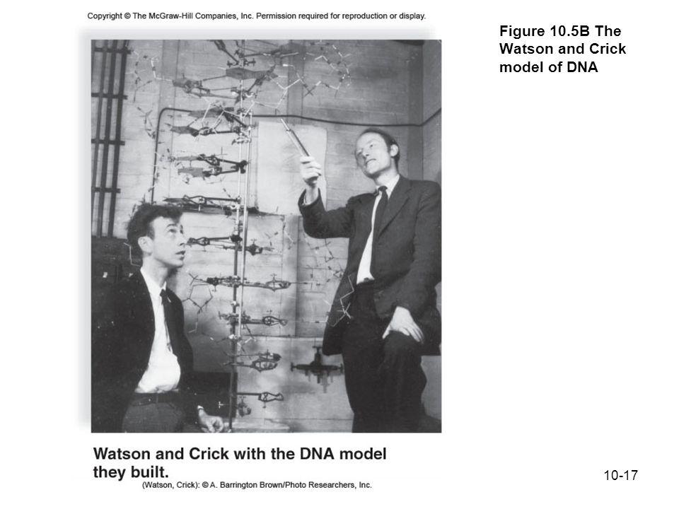 Figure 10.5B The Watson and Crick model of DNA