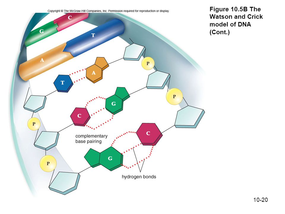 Figure 10.5B The Watson and Crick model of DNA (Cont.)