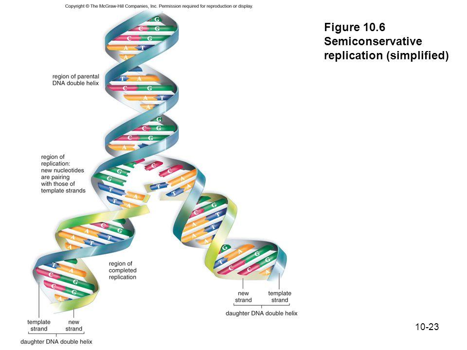 Figure 10.6 Semiconservative replication (simplified)