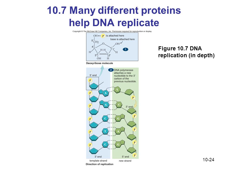 10.7 Many different proteins help DNA replicate