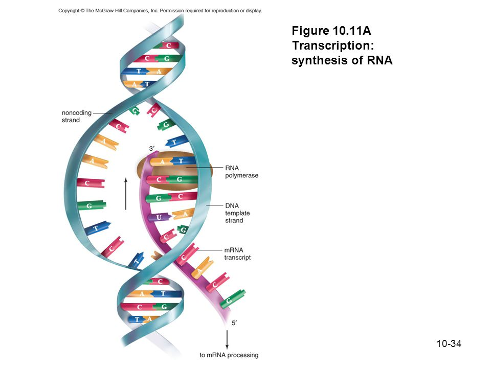 Figure 10.11A Transcription: synthesis of RNA