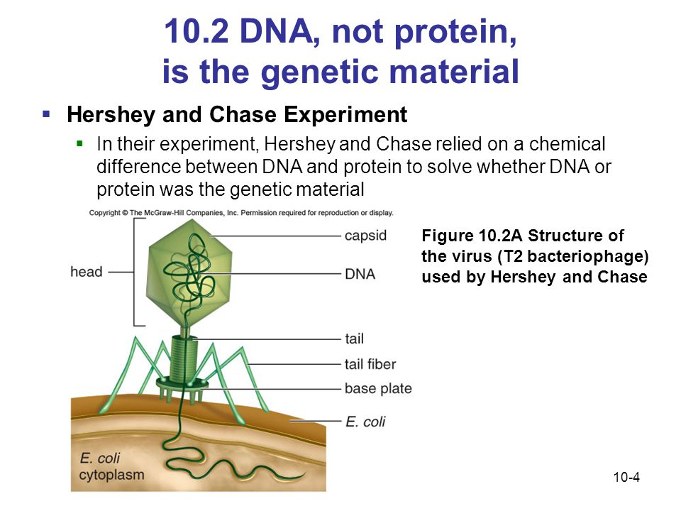 10.2 DNA, not protein, is the genetic material