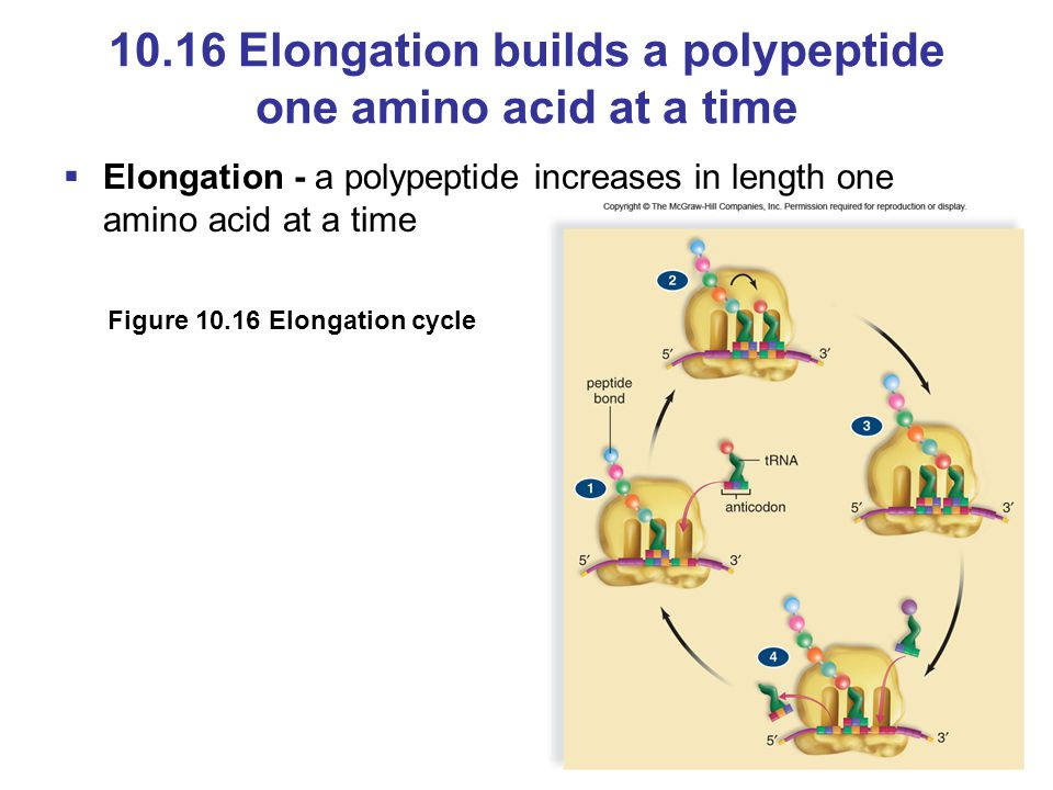 10.16 Elongation builds a polypeptide one amino acid at a time
