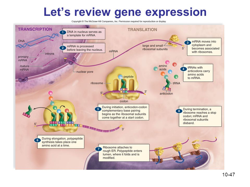 Let's review gene expression