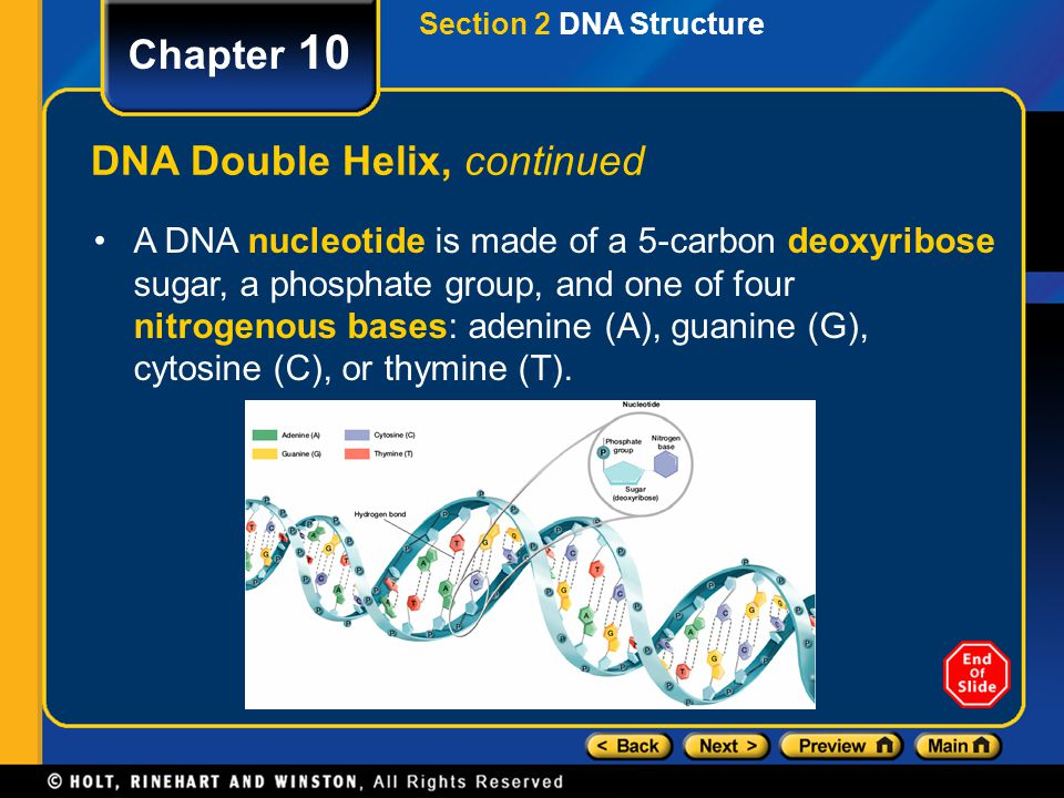 DNA Double Helix, continued