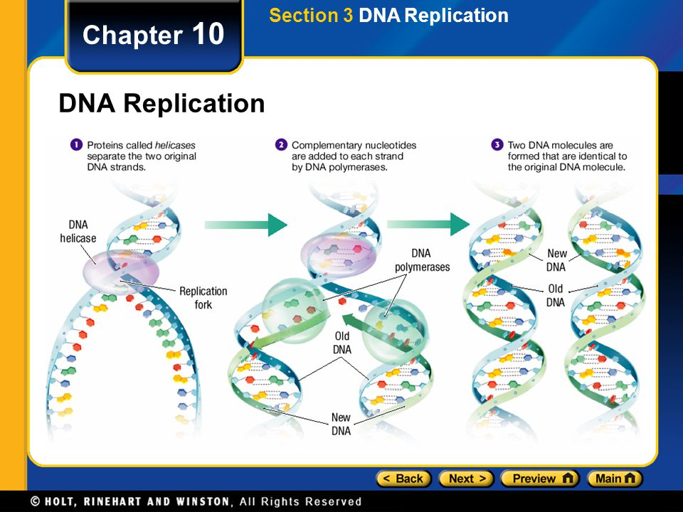 Section 3 DNA Replication