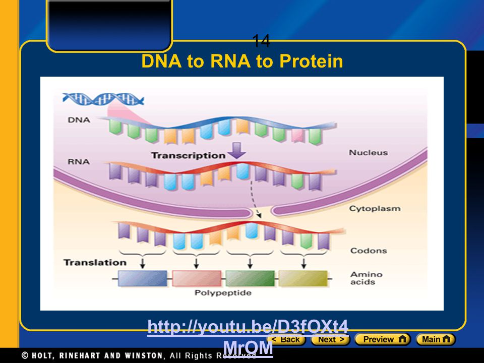DNA to RNA to Protein http://youtu.be/D3fOXt4MrOM