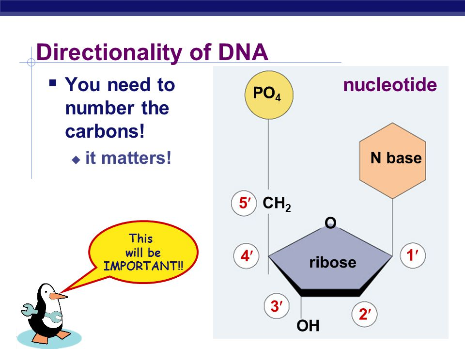 Directionality of DNA You need to number the carbons! nucleotide