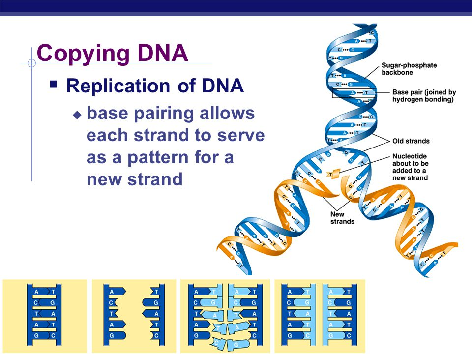 Copying DNA Replication of DNA