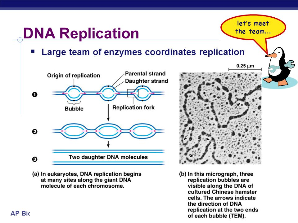 DNA Replication Large team of enzymes coordinates replication