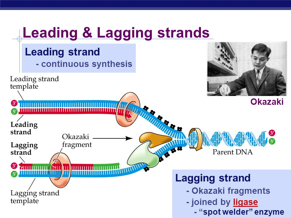 Leading & Lagging strands