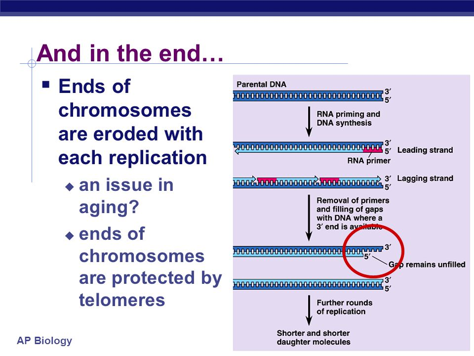And in the end… Ends of chromosomes are eroded with each replication