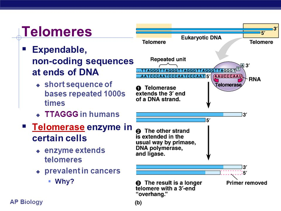 Telomeres Expendable, non-coding sequences at ends of DNA