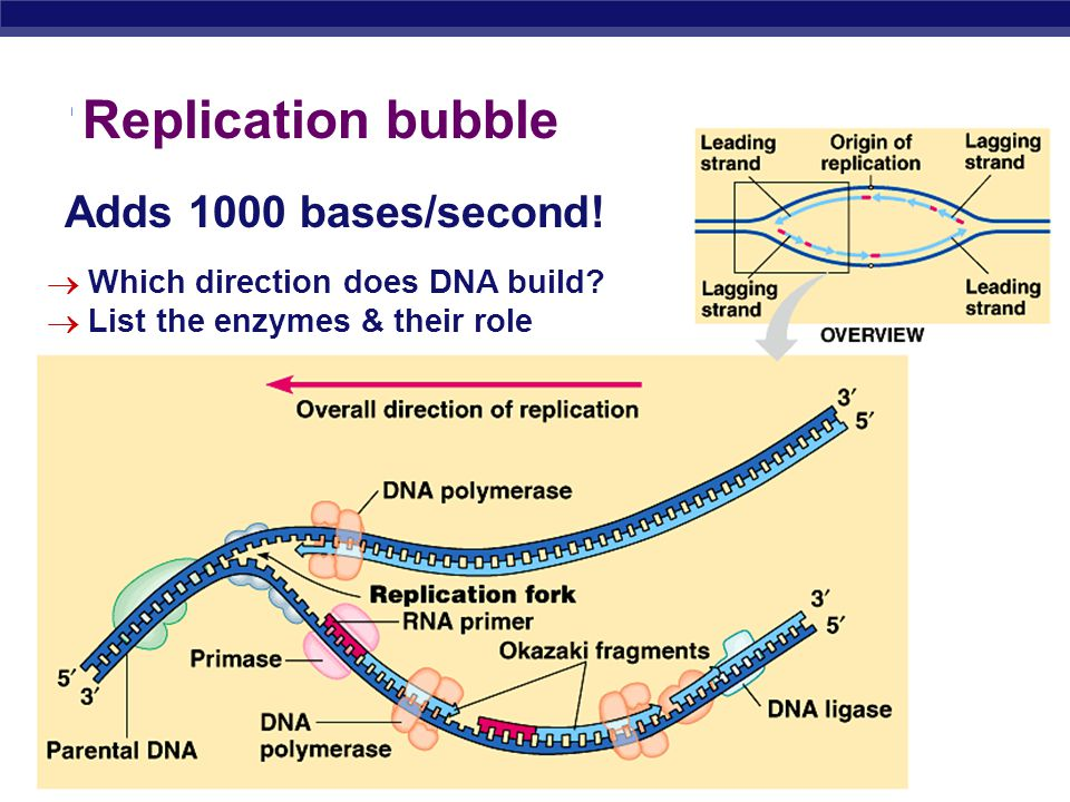 Replication bubble Adds 1000 bases/second!