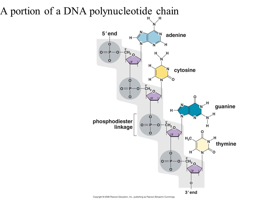 A portion of a DNA polynucleotide chain
