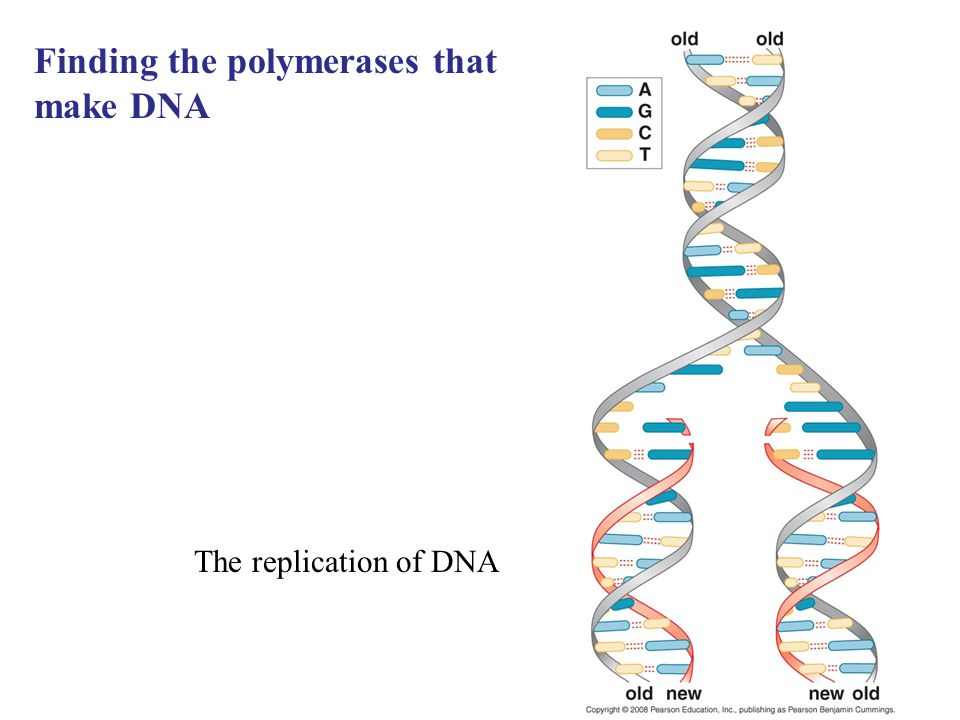 Finding the polymerases that make DNA