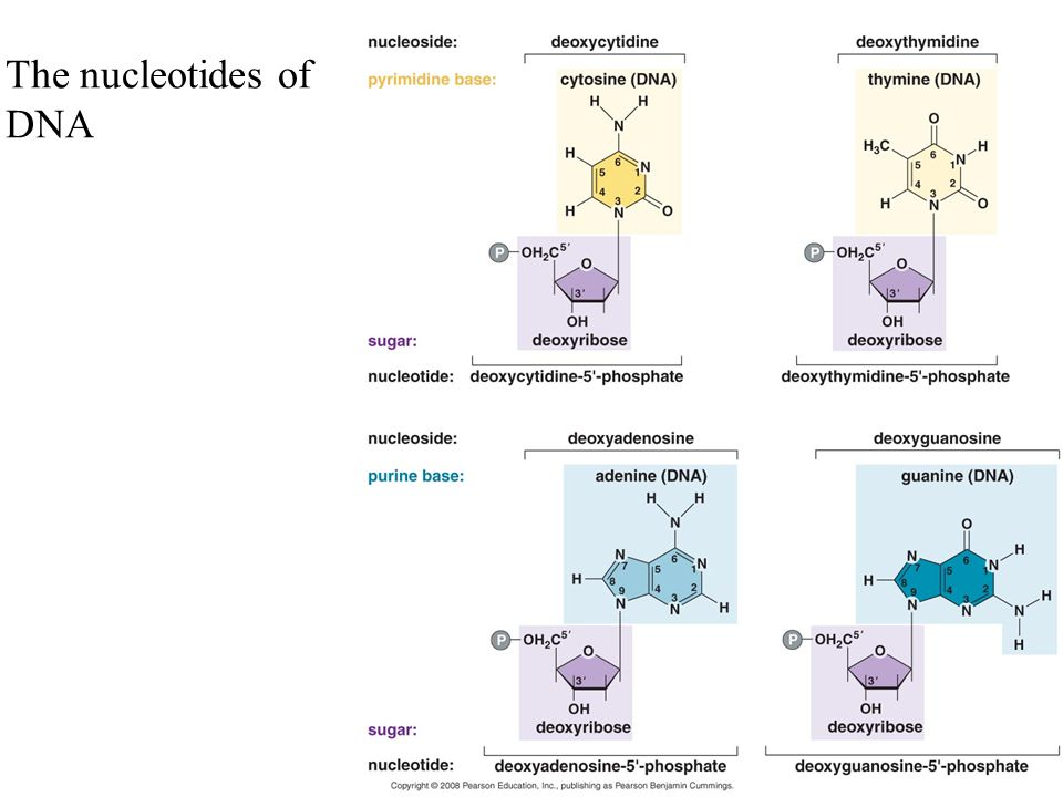 The nucleotides of DNA