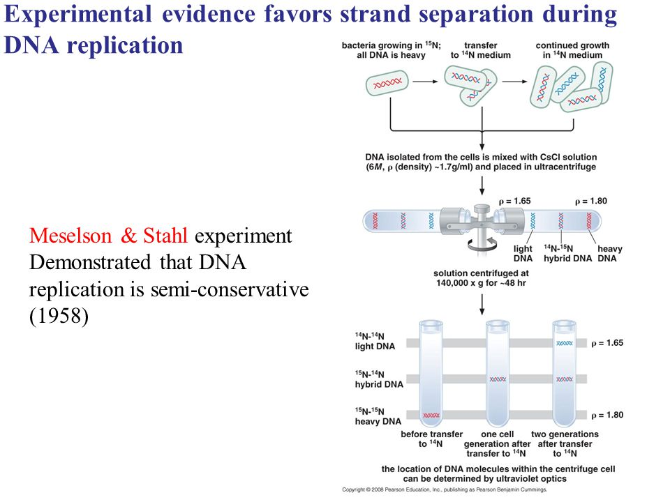 Experimental evidence favors strand separation during DNA replication