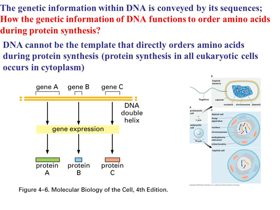 The genetic information within DNA is conveyed by its sequences; How the genetic information of DNA functions to order amino acids during protein synthesis