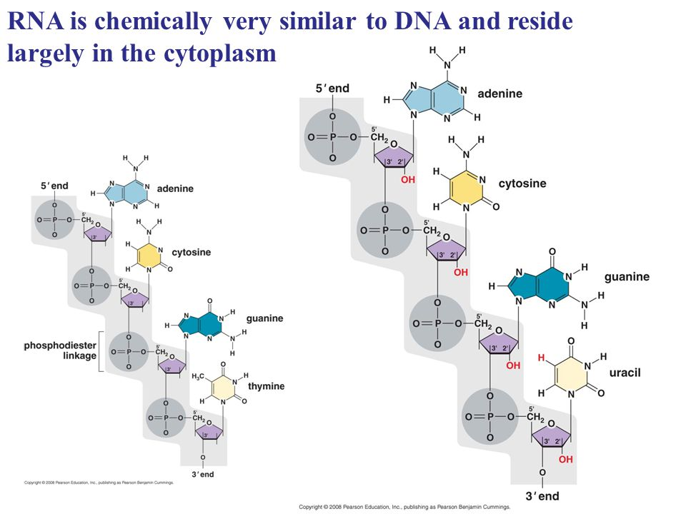 RNA is chemically very similar to DNA and reside largely in the cytoplasm