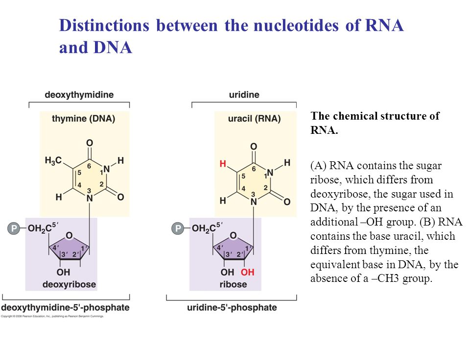 Distinctions between the nucleotides of RNA and DNA