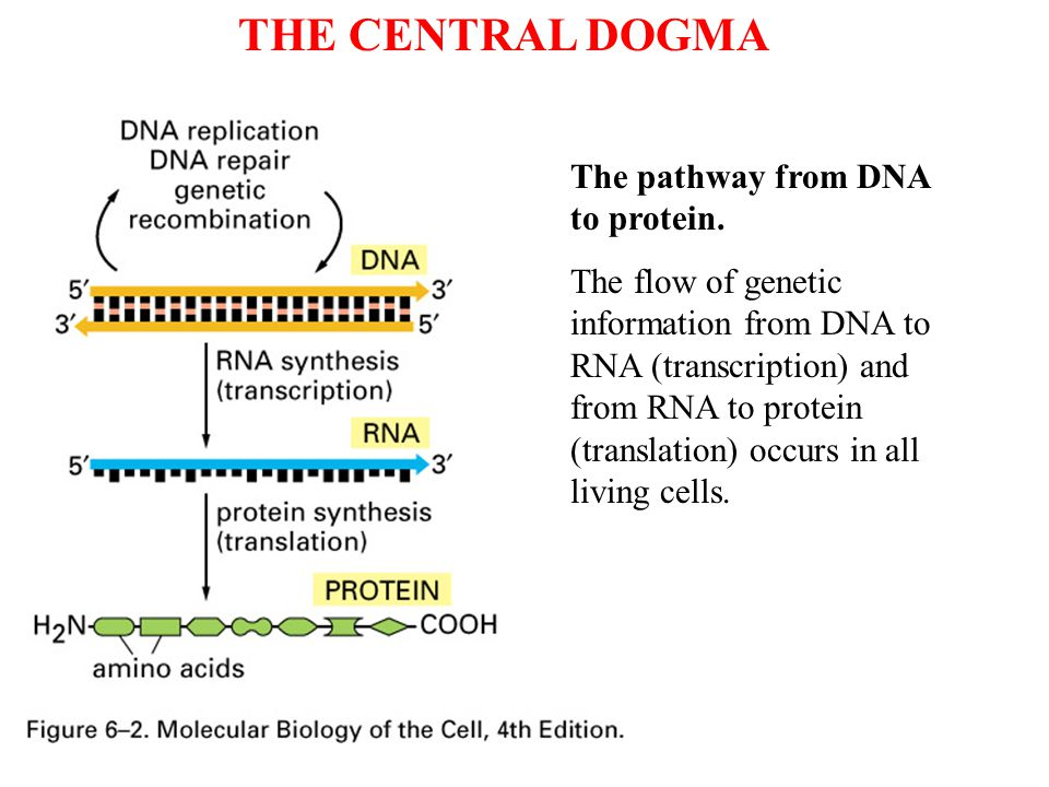 THE CENTRAL DOGMA The pathway from DNA to protein.
