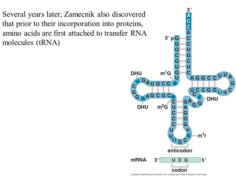 Several years later, Zamecnik also discovered that prior to their incorporation into proteins, amino acids are first attached to transfer RNA molecules (tRNA)