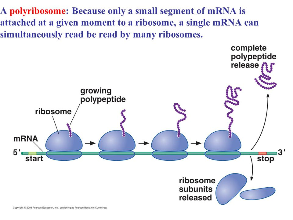 A polyribosome: Because only a small segment of mRNA is attached at a given moment to a ribosome, a single mRNA can simultaneously read be read by many ribosomes.