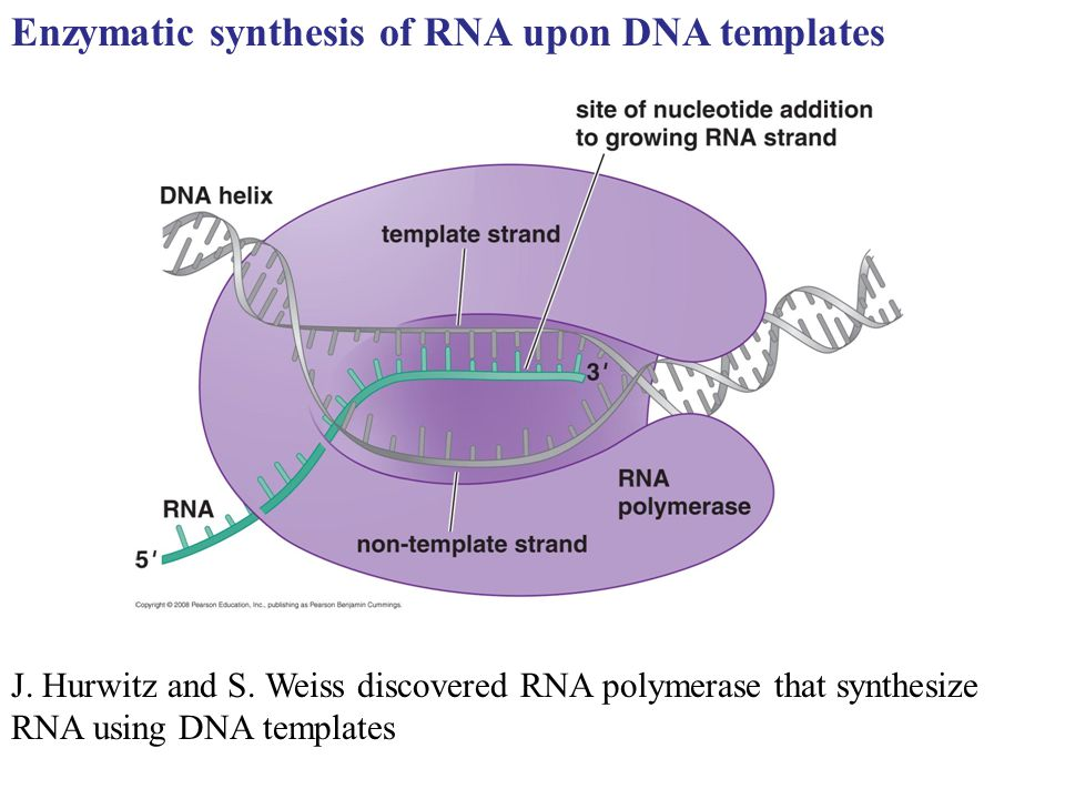 Enzymatic synthesis of RNA upon DNA templates