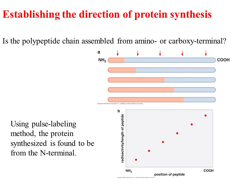 Establishing the direction of protein synthesis